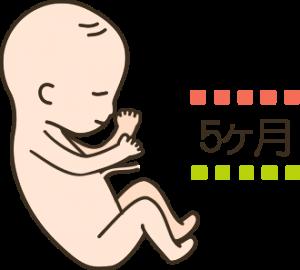 妊娠5ヶ月目の胎児