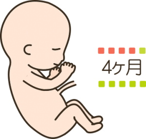 妊娠4ヶ月目の胎児