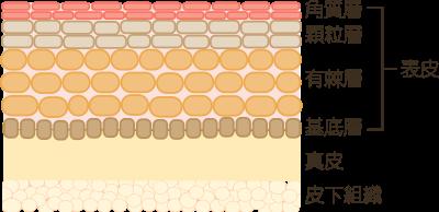 大人と赤ちゃんの肌の構造